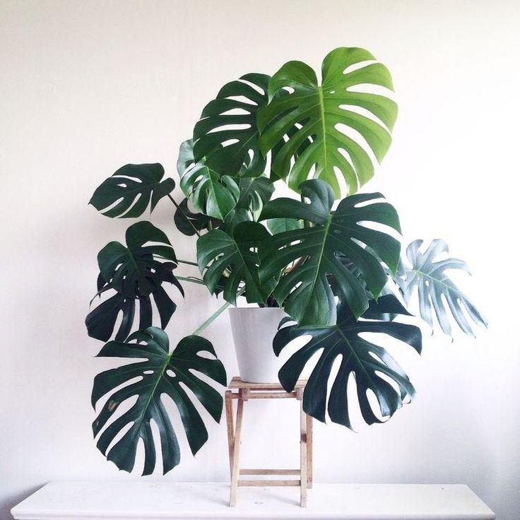 φυτο φιλοδενδρο μονστερα philodendron monstera