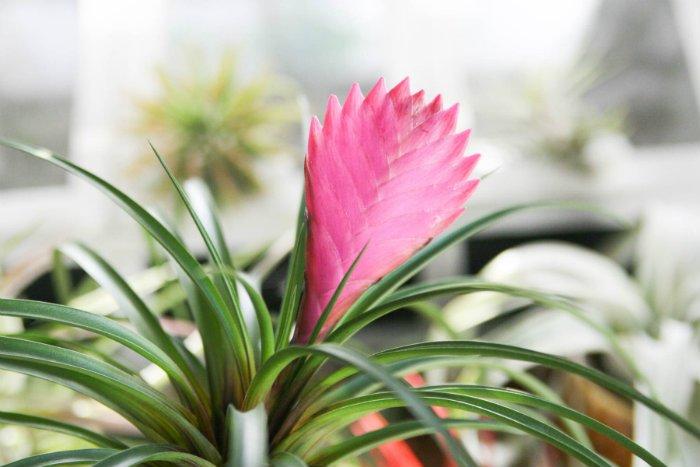 Η Τιλάνσια Cyanea ανήκει στην οικογένεια των Βρομελιών, φυτών ενδημικών της Νότιας Αμερικής.