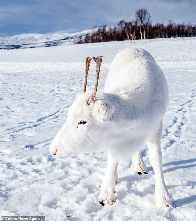Λευκός τάρανδος
