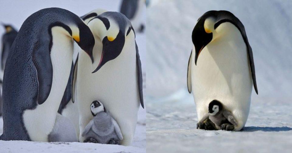 Σπάνιο είδος πιγκουίνου