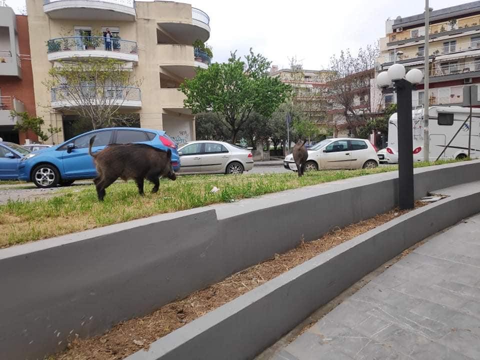 Αγριογούρουνα στη Θεσσαλονίκη έκαναν βόλτες