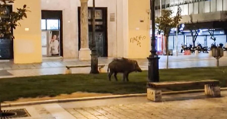 Περιστατικό Θεσσαλονίκης: Το αγριογούρουνο που έκοβε βόλτες στην Αριστοτέλους.