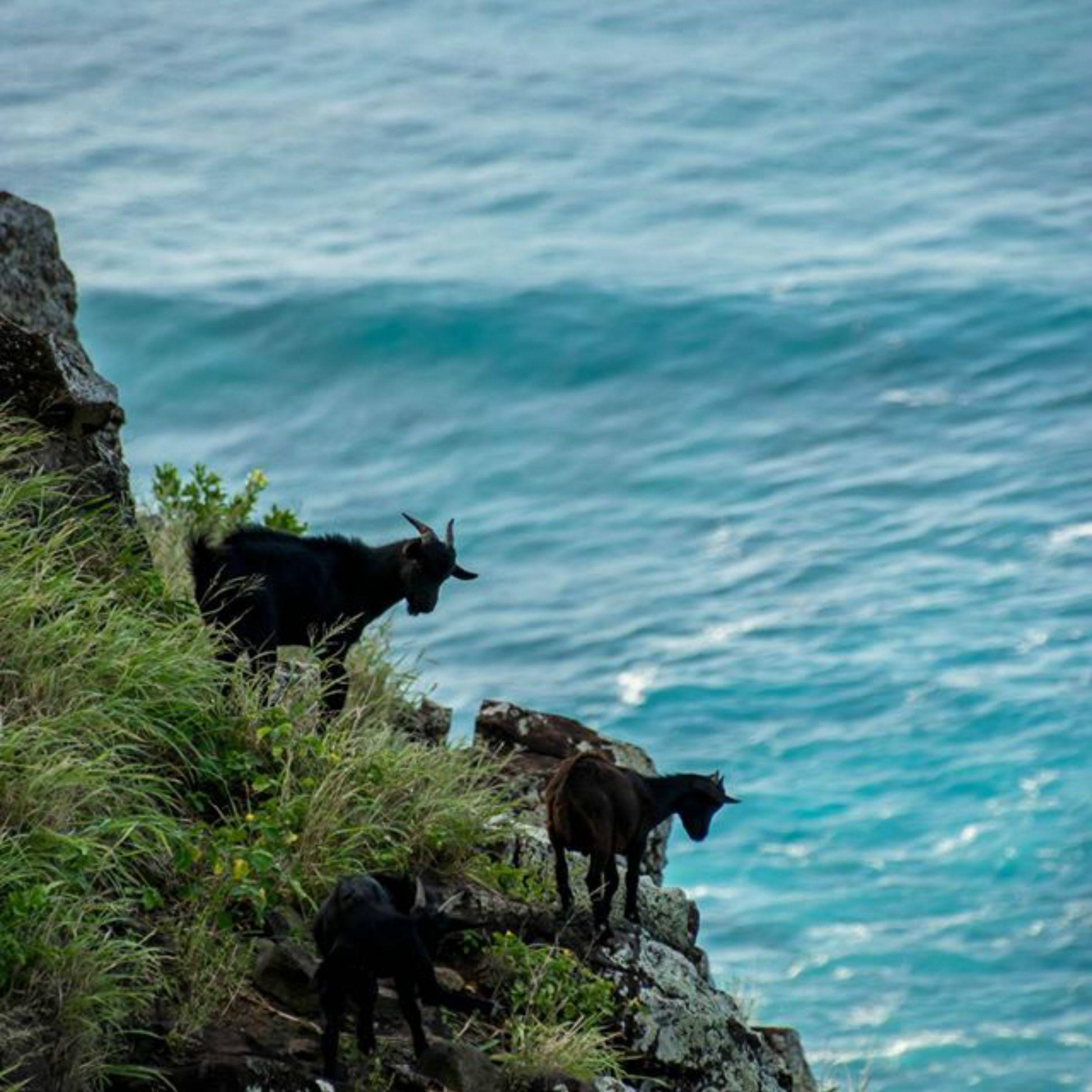 κατσίκες στη Χαβάη