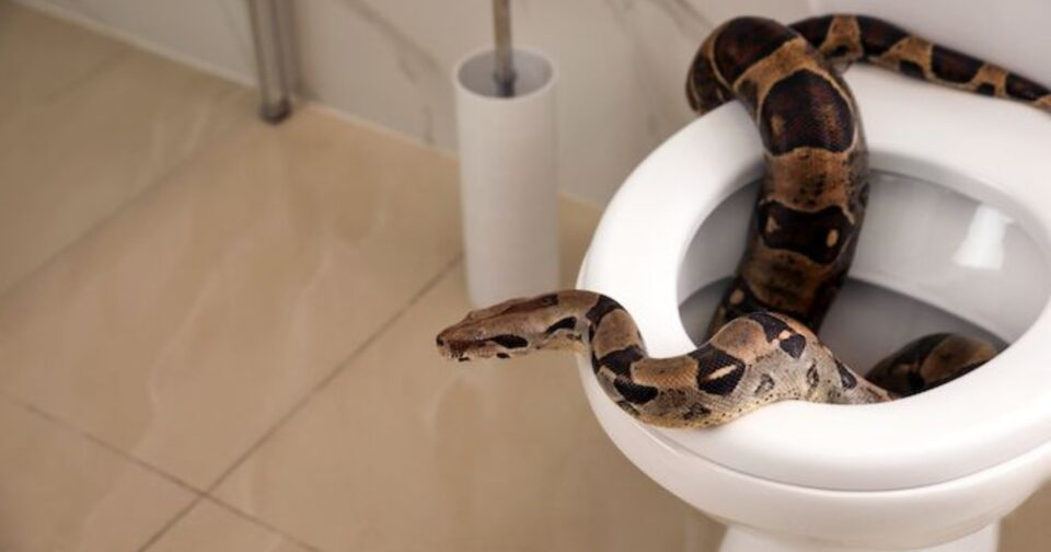 Πύθωνας τουαλέτα